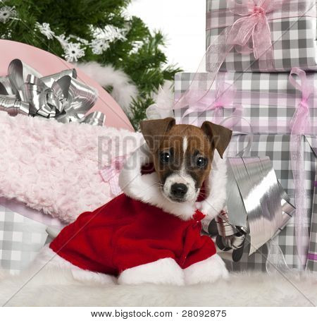 Jack Russell Terrier puppy, 11 weeks old, with Christmas gifts in front of white background