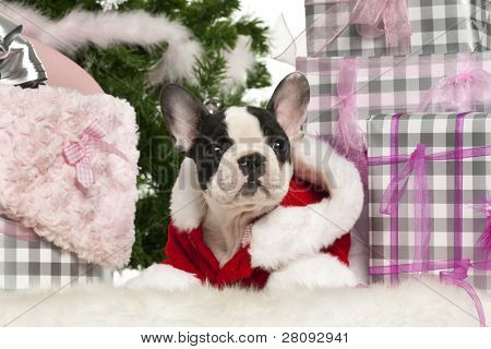 French Bulldog puppy, 13 weeks old, lying with Christmas gifts in front of white background