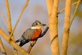 Male Ringed Kingfisher, Megaceryle Torquata, A Large, Conspicuous And Noisy Kingfisher Bird, Mato Gr poster