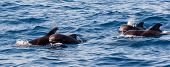foto of porpoise  - School of pilot whales with young ones - JPG
