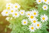 White Daisy Flower. Flower In Garden At Sunny Summer Or Spring Day. Flower For Postcard Beauty Decor poster