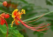 Caesalpinia Known As Peacock Flower, Barbados Flower Fence, Flower Fence, Jambol Merak, Cana, Barbad poster