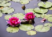 stock photo of water lilies  - Pond with the blossoming pink lilies - JPG