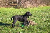 Labrador Retriever Puppy Walking. Labrador Puppy Stands In A Rack On Green Grass With Daisies In A P poster