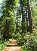 picture of redwood forest  - trail through the forest - JPG
