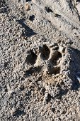 Canine Paw Print Left Behind In The Dirt poster