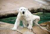stock photo of polar bears  - polar bear - JPG