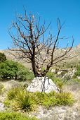 stock photo of stagecoach  - dead tree and boulder - JPG
