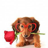 Longhair dachshund puppy dog, studio isolated on white wearing heart shaped Valentines day eyeglasse poster