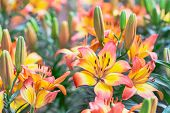 Lily Flower. Flower In Garden At Sunny Summer Or Spring Day. Flower For Postcard Beauty Decoration A poster