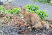 Cat Yellow Eyed Feces On The Ground. Thai Cat. poster