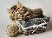 Beautiful Persian Kitten Cat Marble Color Coat poster