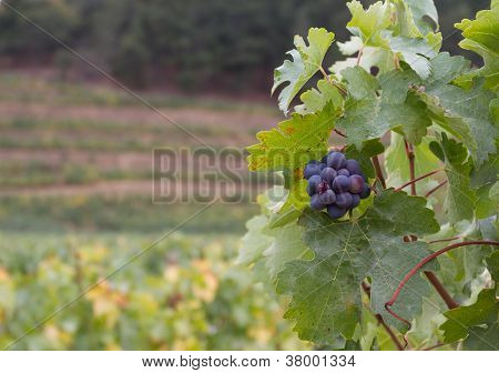 Grapes with Vineyard Background