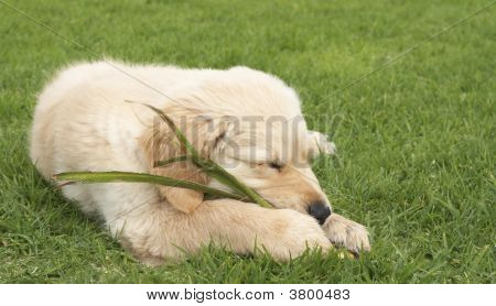 Small Golden Retriever Puppy