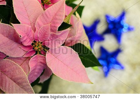 Pink Poinsettia Flower...