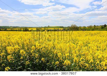 Oil Seed Rape Field 1