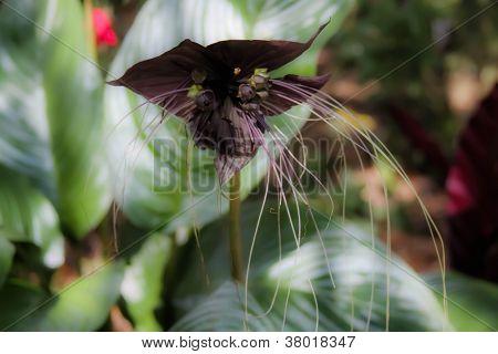 Batwing Flower