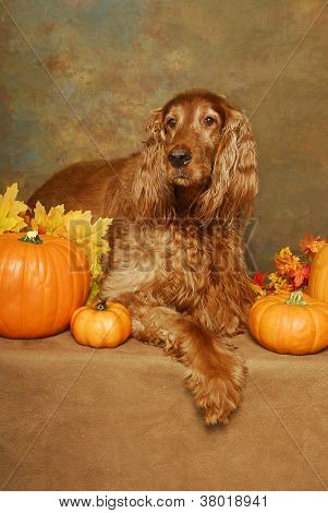 Irish Setter And Pumpkins