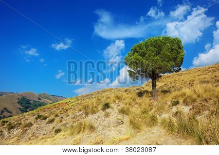 Lonely Pine Tree On Torrid Hills Of Calabria