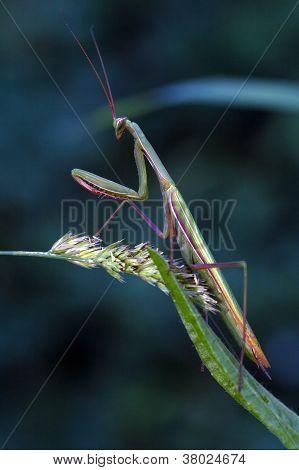 A Mantis Religiosa In Pray