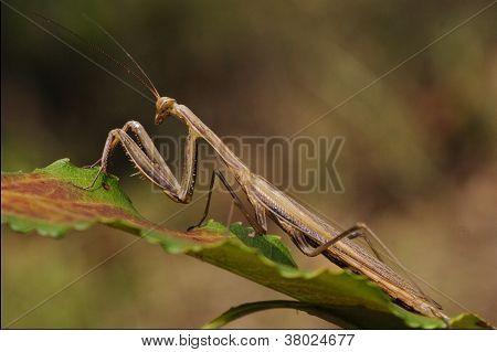 A Mantis Religiosa
