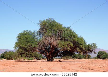 Prosopis Tree