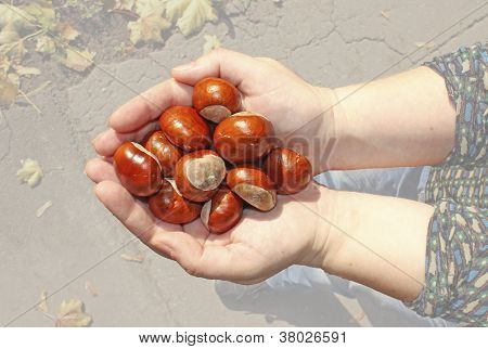 Conker in palms