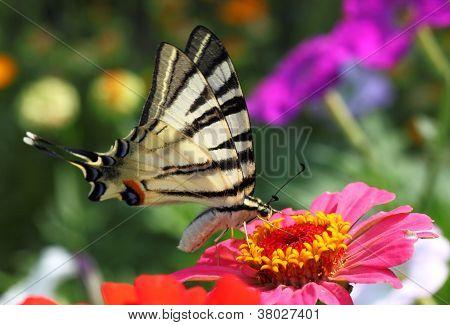 Butterfly Sitting On Zinnia