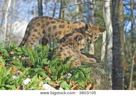 Cougar Kits