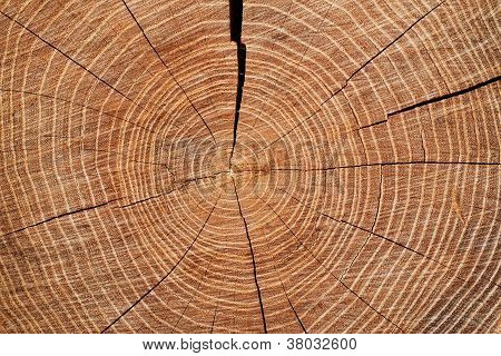 Cross-section Through A Tree Trunk