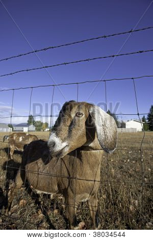 Side Portrait Of Nubian Goat.