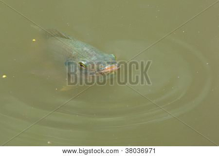 Fish Is Swimming In A Lake
