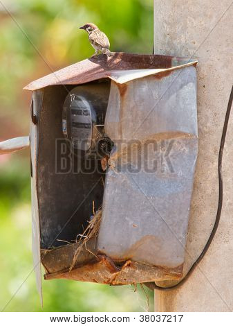 Sparrow And Nest In A Cabinet With Electrical Meter