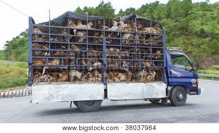 Hu�, Vietnam - Aug 4: Trailer Filled With Live Dogs Destined For Vietnamese Slaughterhouses. Dogs,