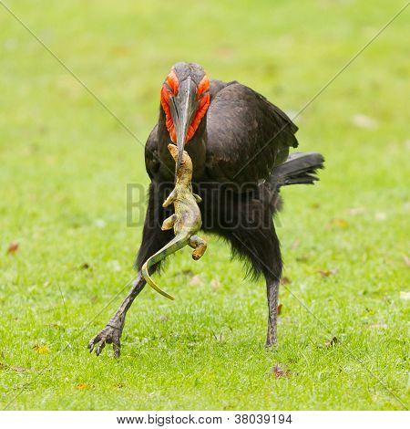 Southern Ground Hornbill (bucorvus Leadbeateri)