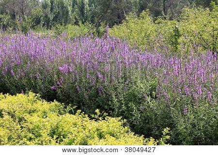 Lythrum Salicaria Flowers