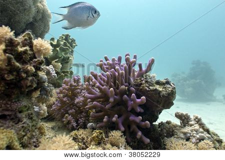coral reef with lilac hood coral and exotic fish on the bottom of red sea in egypt