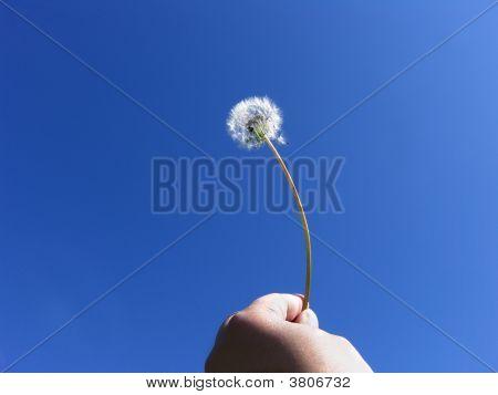 Human Freedom Dandelion Seeds On Blue Sky