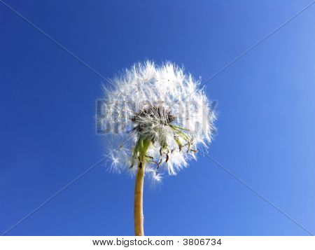 Dandelion Seeds Blue Sky Background … Wishes
