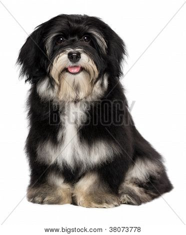 Beautiful Smiling Havanese Puppy Is Looking At Camera