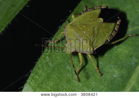 Green Shield Bug Close-Up Portrait