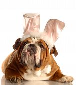 picture of bunny easter  - english bulldog dressed up as Easter bunny - JPG
