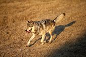 stock photo of north american gray wolf  - Adult Male North American Gray Wolf in Montana - JPG