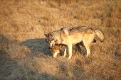 image of north american gray wolf  - Adult Male North American Gray Wolf in Montana - JPG