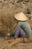 A Vietnemaese  field worker harvests dried rice in the Mekong delta