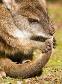 stock photo of tammar wallaby  - Parma wallaby is cleaning it - JPG