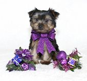 picture of yorkie  - Sweet little Yorkie puppy wearing a purple Christmas bow with purple Christmas decor - JPG