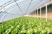 stock photo of turnip greens  - closeup of pictures about greenhouse in china - JPG