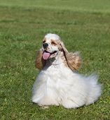 Beautiful Purebred Dog On Green Grass poster
