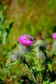 foto of scottish thistle  - Scottish Thistle on a fine sunny day